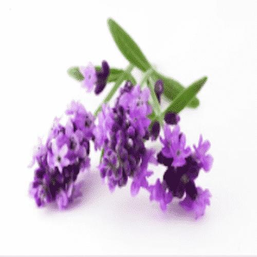 Badezusatz Schafmilch - Badeschokolade Lavendel Ovis 110 g Blume