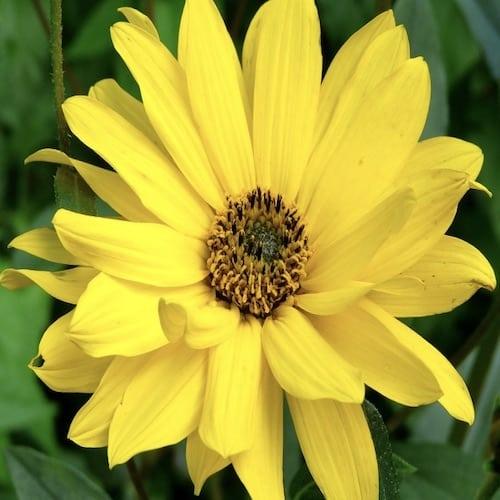 Schafmilchseife Arnika Ovis 100 g Blume
