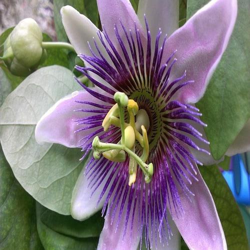 Schafmilchseife Passionsblume Ovis 100 g Blume