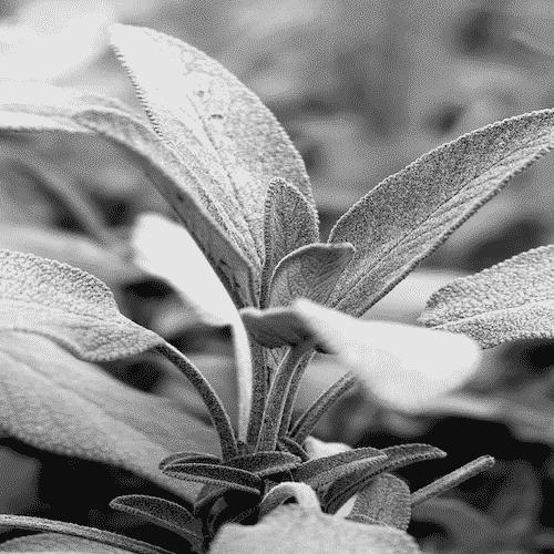 Weisser Salbei Pflanze