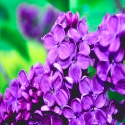 Zirbenkissen mit Lavendel