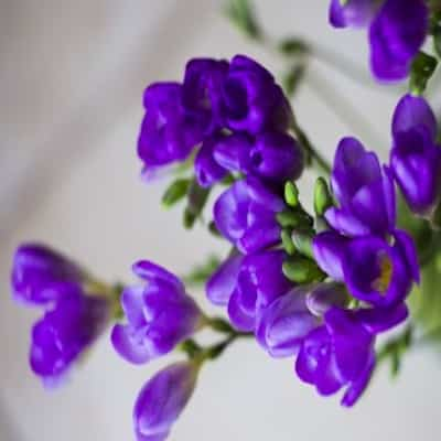 Lavendel mit Leinensack