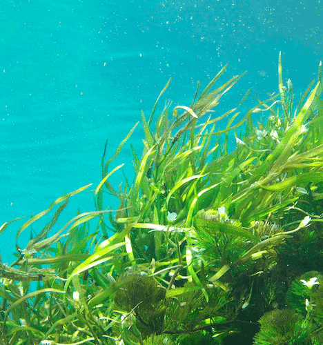 Bio Seife Meeresschatz mit Alge - Wakamer Alge
