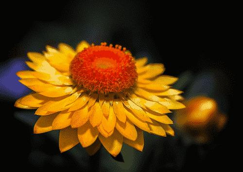 Bio Seife SHELLY mit Immortelle - Blume