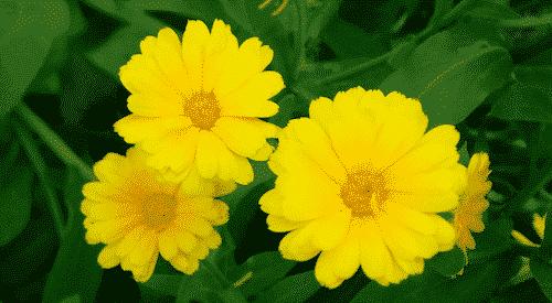 Bio Seife SVEA mit Ringelblume - Blume