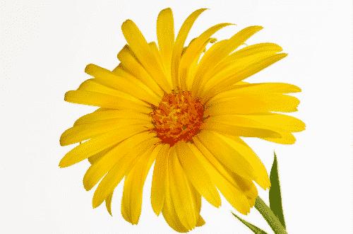 Bio Seife Sonnenschatz mit Ringelblume & Sanddorn - Ringelblume