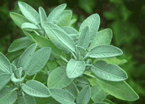 Bio Seife Salbei mit Shea und Schwarzkümmelöl - Pflanze