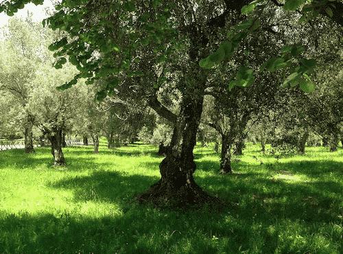 Seifenablage aus Olivenholz - Baum