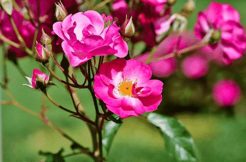 Badesalz mit Rosenblüten - Rose