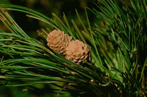 Seife mit Schafmilch und Zirbe - grün - Baum