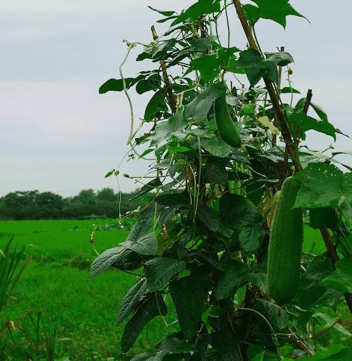 Seifenablage Luffa - Pflanze