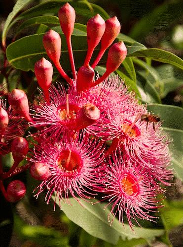 Eukalyptus