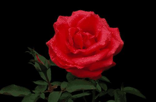 Bio Schafmilchseife mit Rose - BioLina -Bild 2