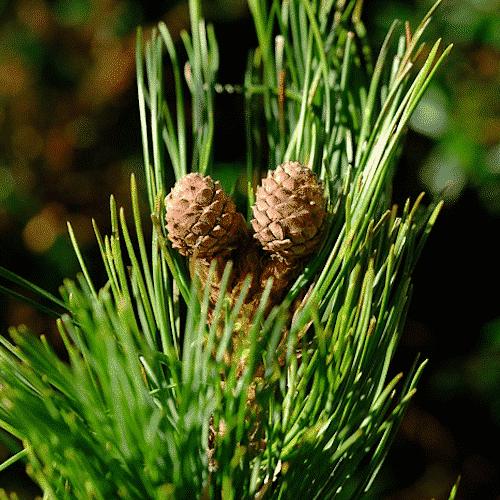 Palmölfreie Schafmilchseife Zirbe - Bild 2