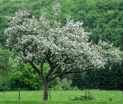 Handschmeichler Apfelbaum - Lieblingsbaum - Apfelbaum
