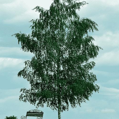 Handschmeichler Birke - Lieblingsbaum - Baumstark Initiative - Birke
