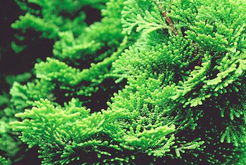 Handschmeichler Zypresse - Lieblingsbaum - Baum Zypresse