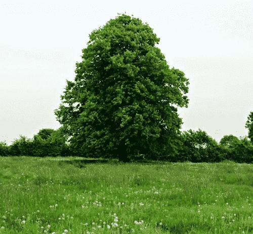 Handschmeichler Buche - Lieblingsbaum - Buche