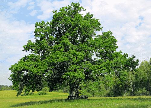 Handschmeichler Eiche - Lieblingsbaum - Eiche