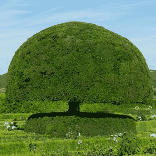 Handschmeichler Eibe - Lieblingsbaum - Eibe