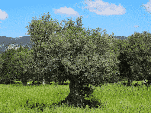 Schale aus Olivenholz - Servierschale - Olivenholz - Bild 1
