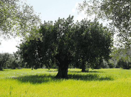 Schale aus Olivenholz - Servierschale - Olivenholz - Bild 2