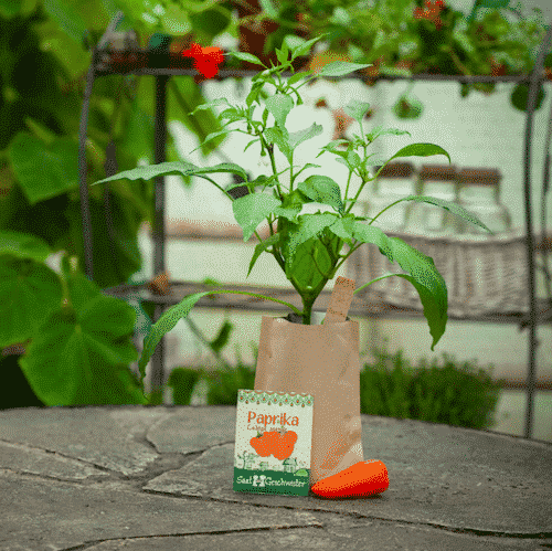 "Garten Paprika ""Lubega Orange"" - Die Stadtgärtner"
