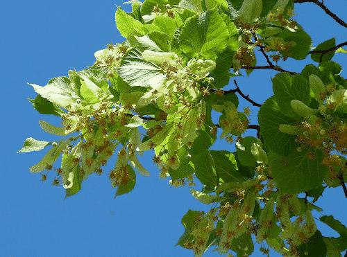 Schafmilchseife Lindenblüte - Florex 100 g - 2