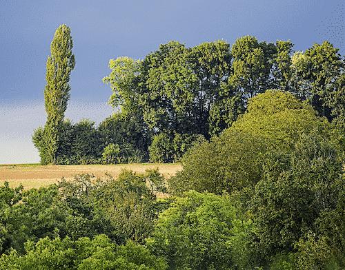 handschmeichler-pappel-lieblingsbaum-baumstark-initiative