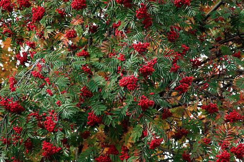 Handschmeichler Eberesche - Lieblingsbaum - Eberesche Baum