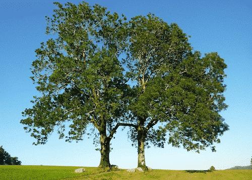 Handschmeichler Esche - Lieblingsbaum - Esche Baum