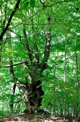 Handschmeichler Hainbuche - Lieblingsbaum - Hainbuche Baum