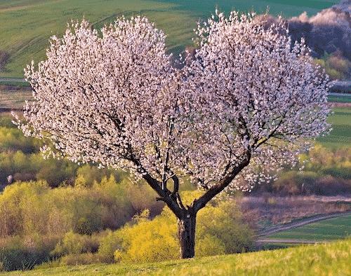 Handschmeichler Kirsche - Lieblingsbaum - Baum Kirsche