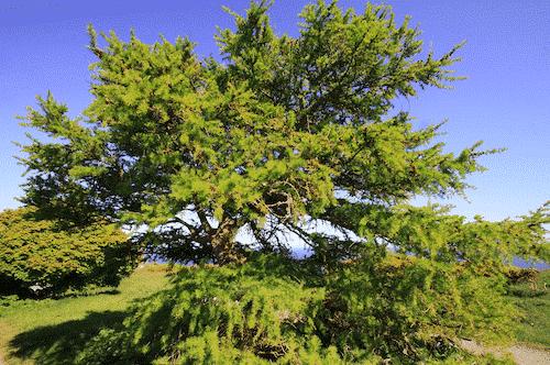 Handschmeichler Lärche - Lieblingsbaum - Baum Lärche