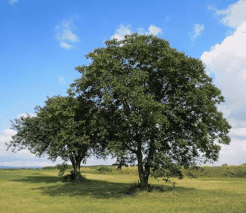 Handschmeichler Nussbaum - Lieblingsbaum - Baum Nussbaum