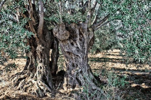 Handschmeichler Olivenbaum - Lieblingsbaum - Baumstark Initiative 1