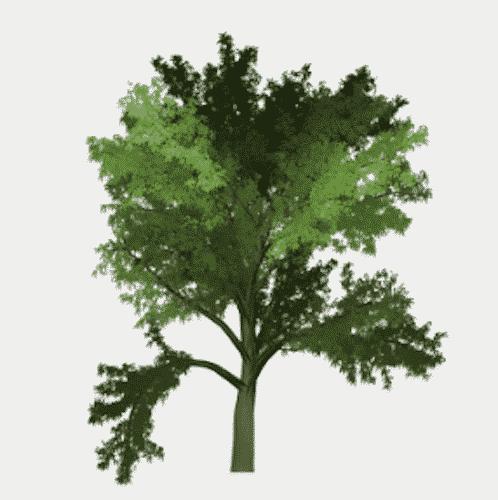 Handschmeichler Robinie - Lieblingsbaum - Baum Robinie