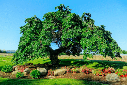Handschmeichler Ulme - Lieblingsbaum - 1
