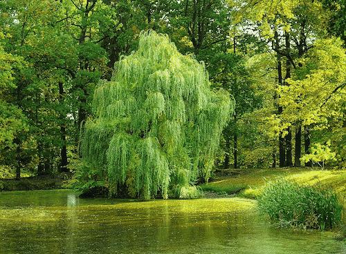 Handschmeichler Weide - Lieblingsbaum - Weide Baum