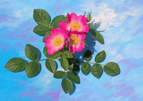 Feste Waschlotion Wildrose - HandwashBit - Wildrose