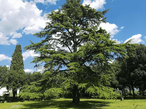 Handschmeichler Zeder - Lieblingsbaum - 1