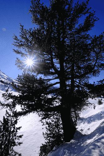 Bio Parfüm für Raum - Zirbe - Baum Zirbe