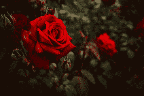 Deo Creme Rosentau - vegan - Rose